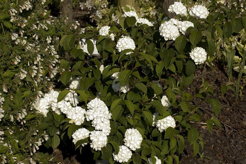 viburnum-plicatum-thunbergs-original-imgp2285
