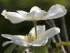clematis-guernsey-cream02