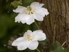 clematis-guernsey-cream03