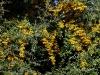 pyracantha-golden-charmer-imgp7231e