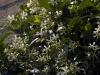 trachelospermum-jasminoides-imgp2376