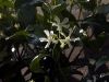 trachelospermum-jasminoides-imgp2377