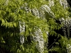 wisteria-floribunda-shiro-noda-imgp2245