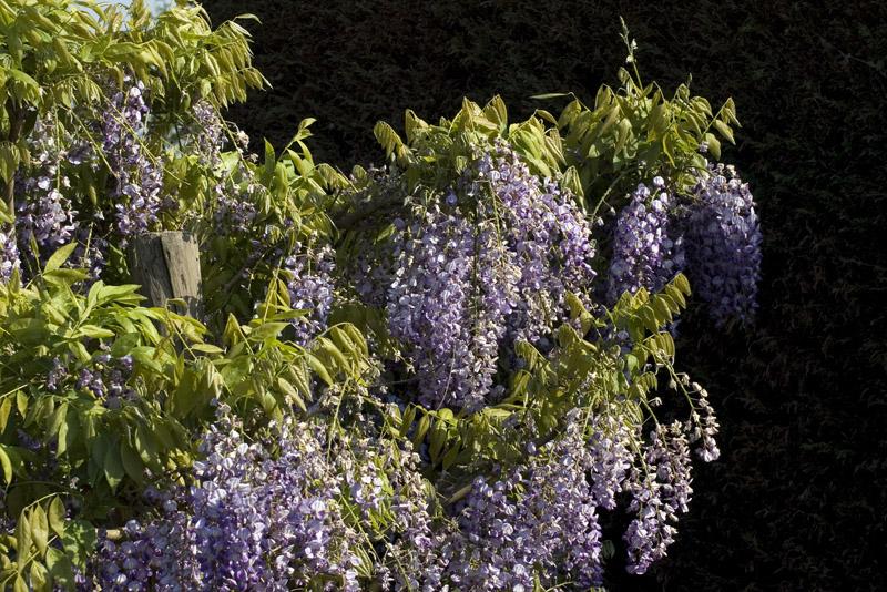 wisteria-formosa-issai-imgp2243