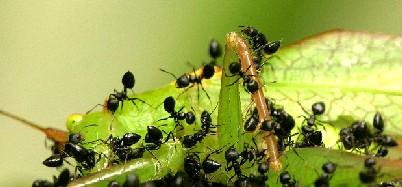 mieren.jpg