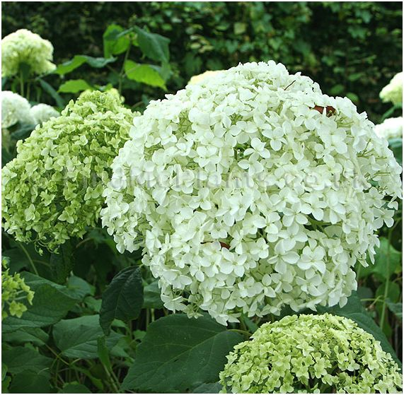 hydrangea annabelle related keywords suggestions. Black Bedroom Furniture Sets. Home Design Ideas