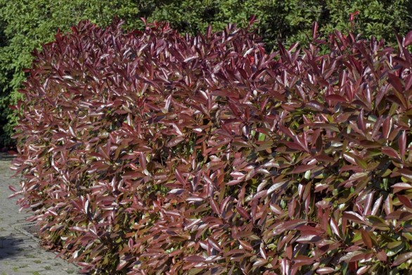 Photinia fraaserii Red Robin
