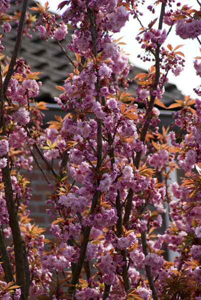 prunus serrulata kanzan imgp0265. Black Bedroom Furniture Sets. Home Design Ideas