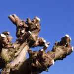 Snoeien van Catalpa bignonioides Bungei (Bol Catalpa) en gelijkende variëteiten.