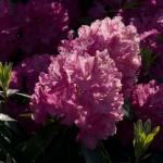Rhododendron aanplant en onderhoud