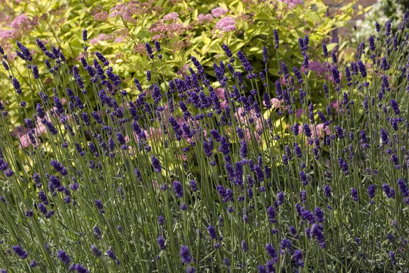 Lavendel In Grote Pot.Lavendel Snoeien Waarom Wanneer Hoe Tuinhulp