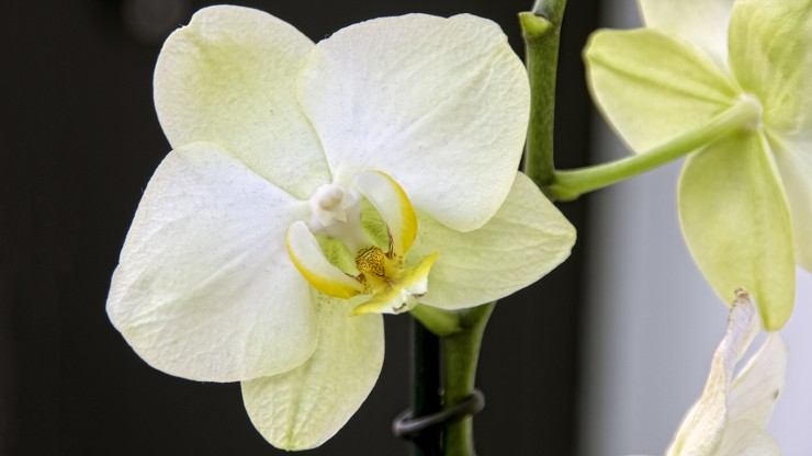 Vlinder) Orchidee of Phalaenopsis, hoe te houden en verzorgen.