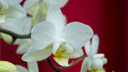 _IGP9037 phalaenopsis multiflora