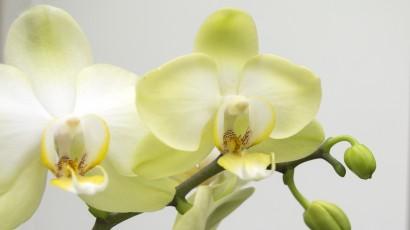 _IGP9043 Phalaenopsis geel wit groen