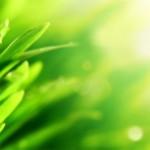 Snoeien Hydrangea arborescens Annabell
