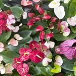Anthurium, Woonplant van de maand juni 2014